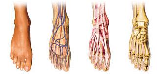 Anatomie voeten